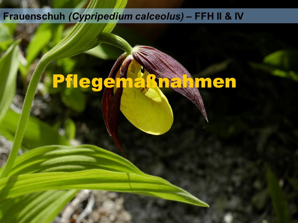 Frauenschuh (Cypripedium calceolus) – FFH II & IV