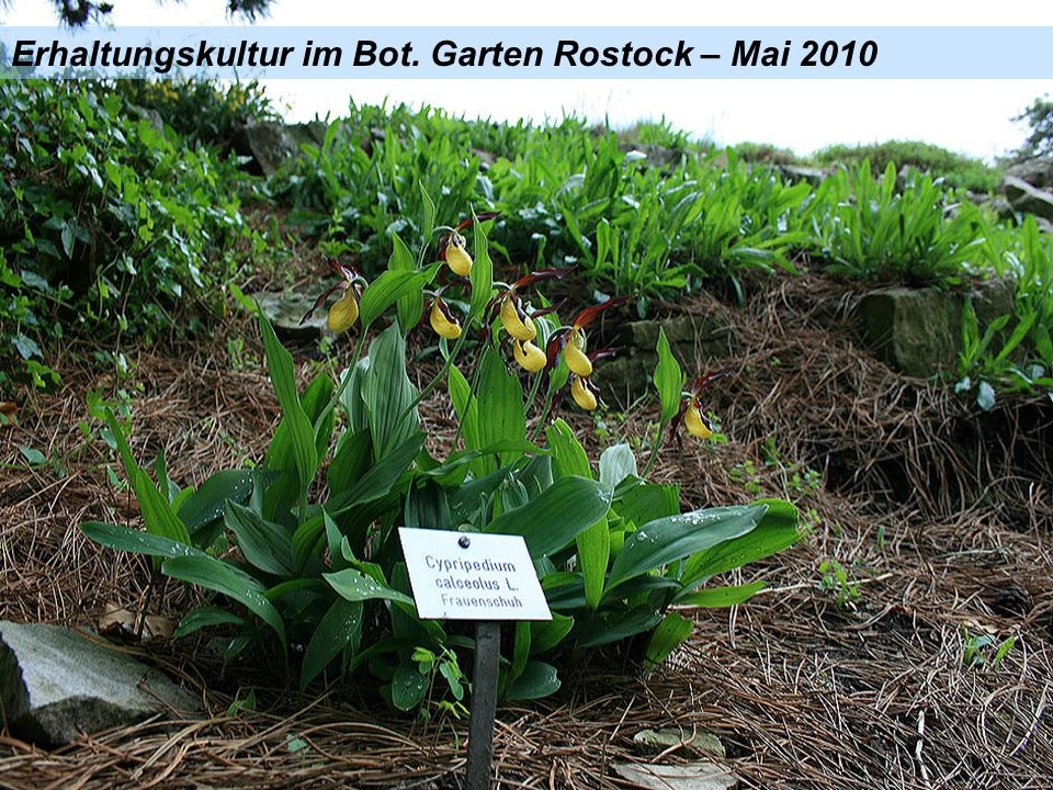 Erhaltungskultur im Bot. Garten Rostock – Mai 2010
