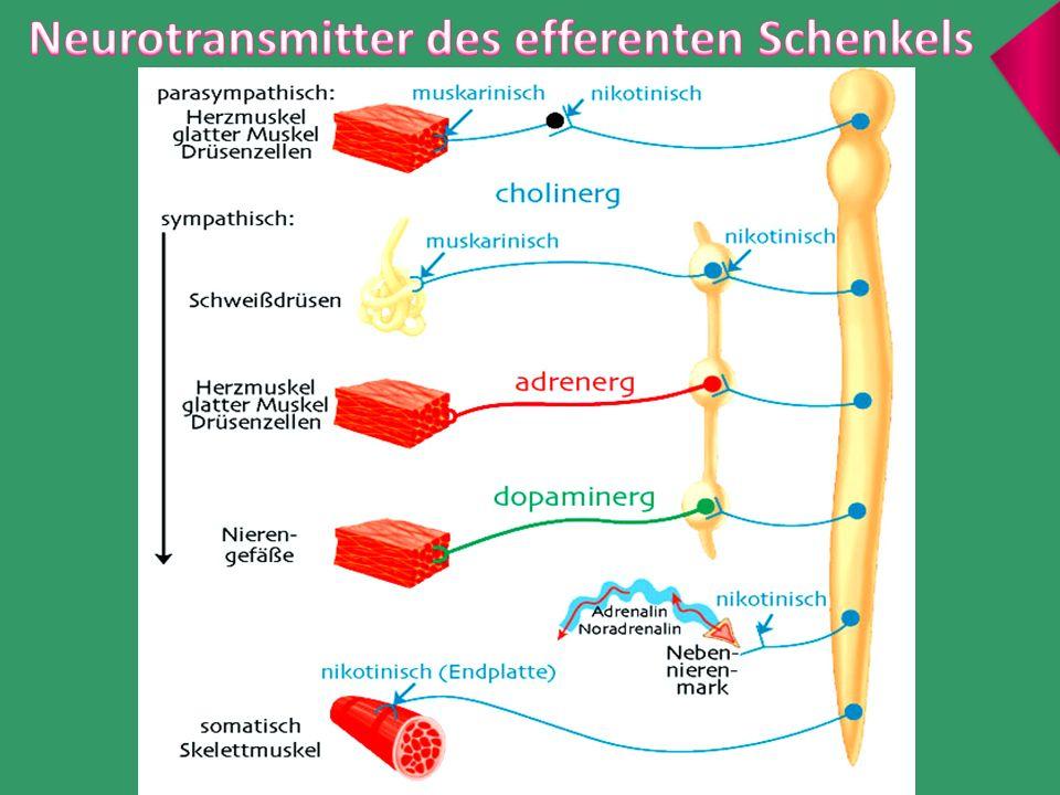 Neurotransmitter des efferenten Schenkels