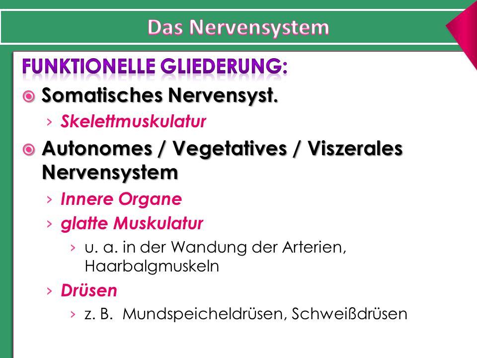 Das Nervensystem Funktionelle Gliederung: Somatisches Nervensyst.