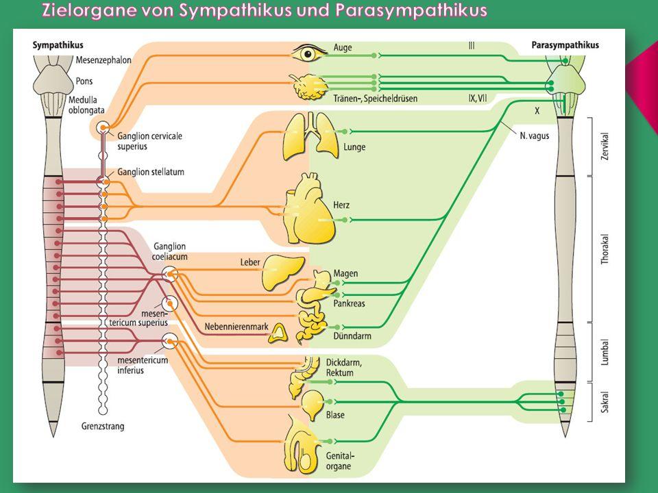 Zielorgane von Sympathikus und Parasympathikus