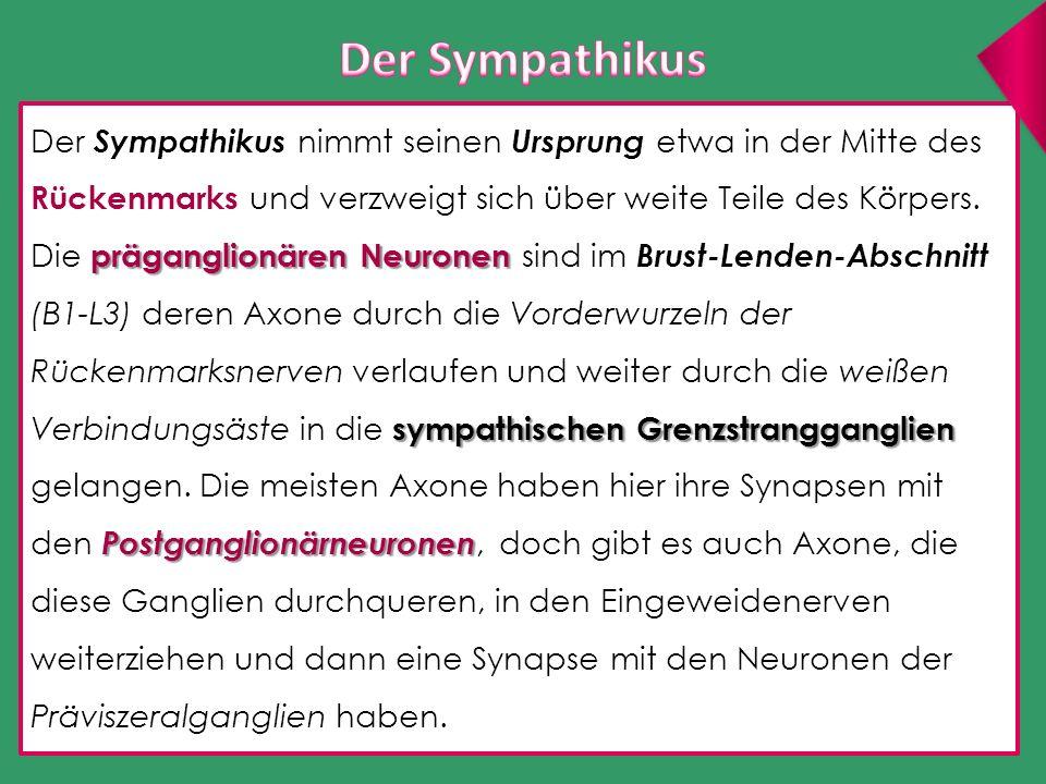 Der Sympathikus Der Sympathikus nimmt seinen Ursprung etwa in der Mitte des Rückenmarks und verzweigt sich über weite Teile des Körpers.