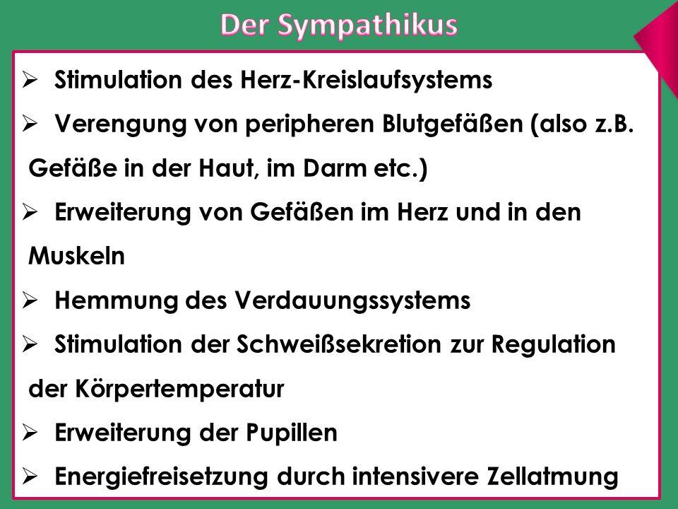 Der Sympathikus Stimulation des Herz-Kreislaufsystems