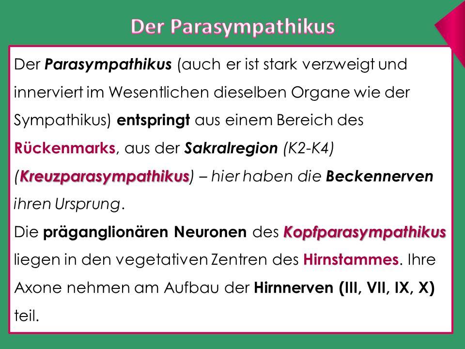Der Parasympathikus