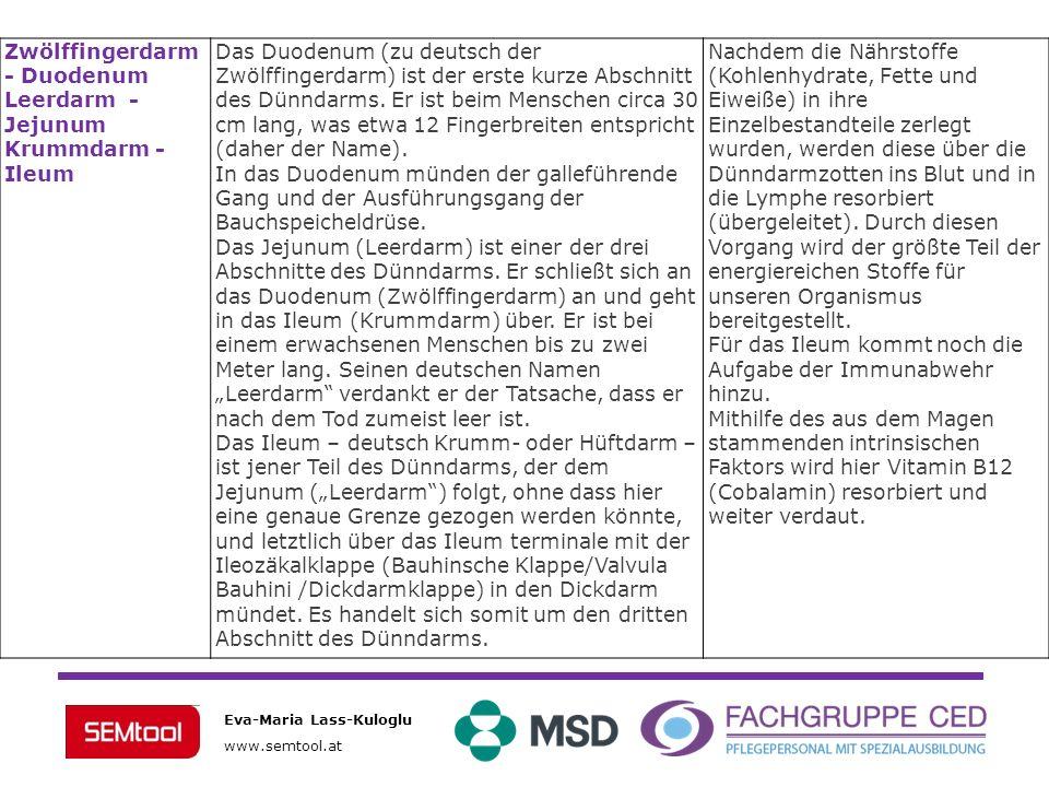 Zwölffingerdarm - Duodenum