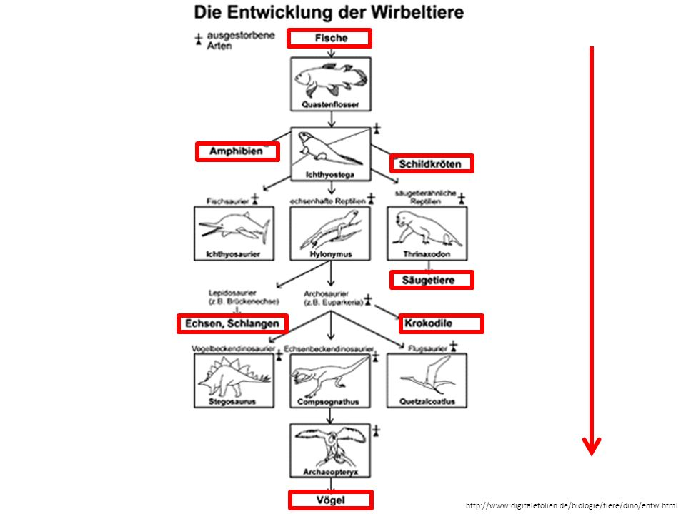 http://www.digitalefolien.de/biologie/tiere/dino/entw.html