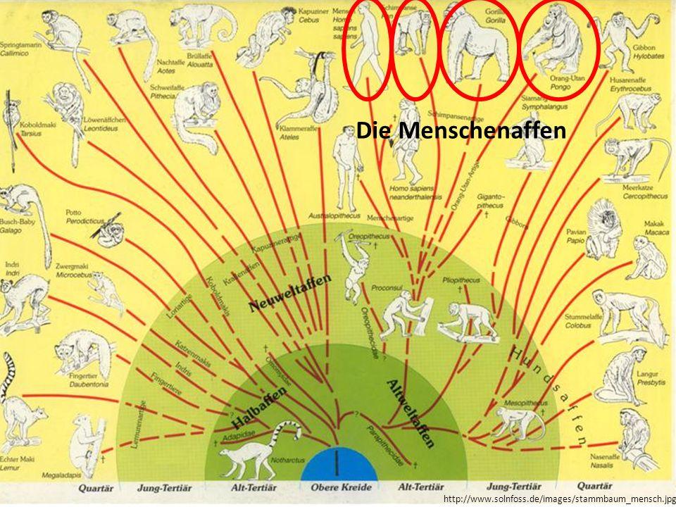 Die Menschenaffen http://www.solnfoss.de/images/stammbaum_mensch.jpg