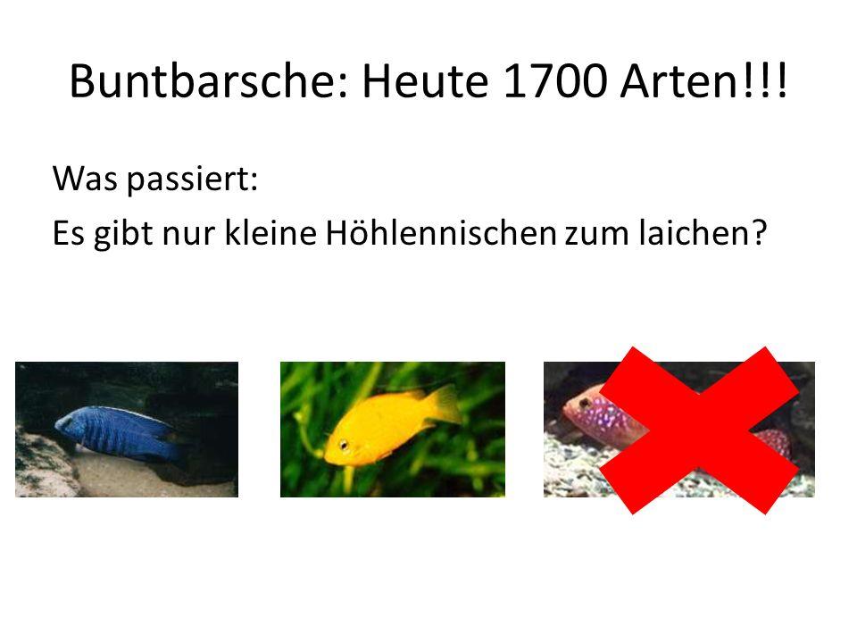 Buntbarsche: Heute 1700 Arten!!!
