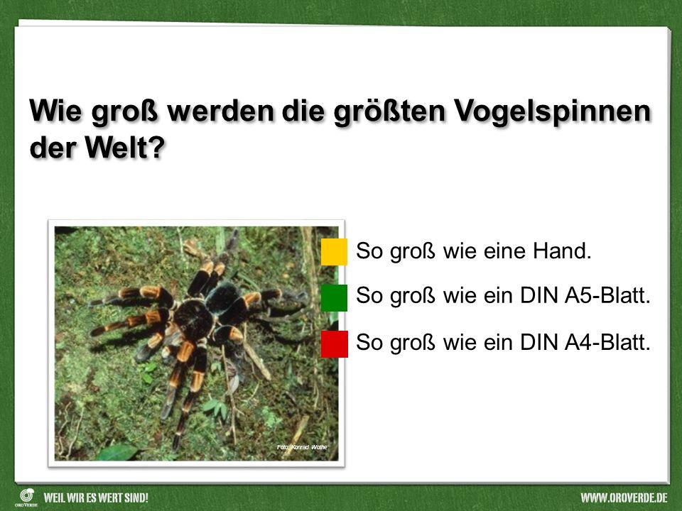 Wie groß werden die größten Vogelspinnen der Welt