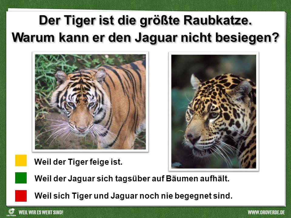 Der Tiger ist die größte Raubkatze.