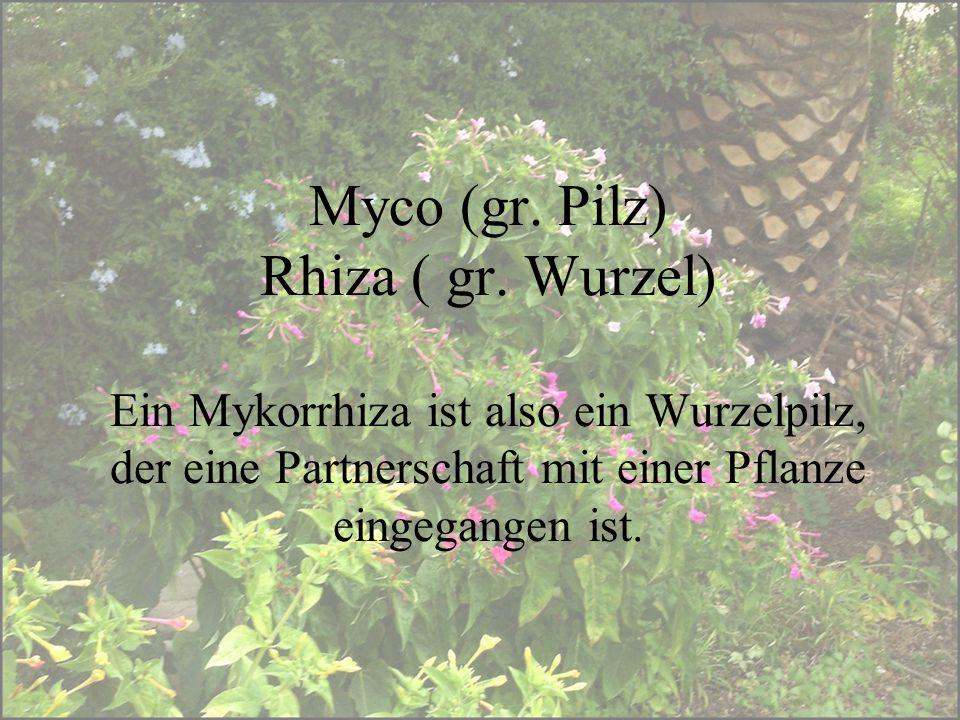 Myco (gr. Pilz) Rhiza ( gr