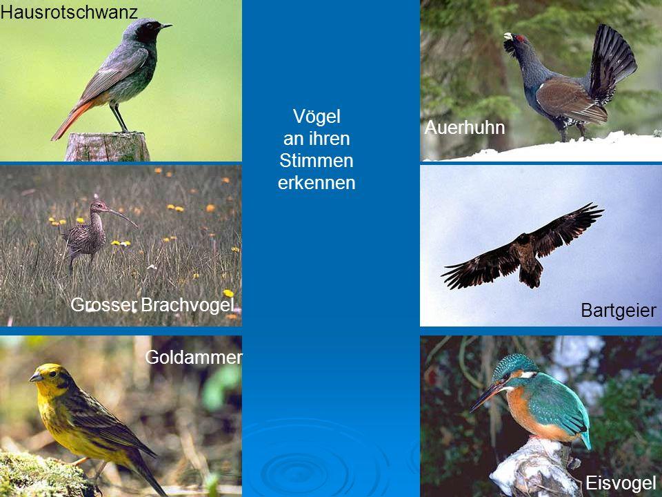 HausrotschwanzVögel. an ihren. Stimmen. erkennen. Auerhuhn. Grosser Brachvogel. Bartgeier. Goldammer.