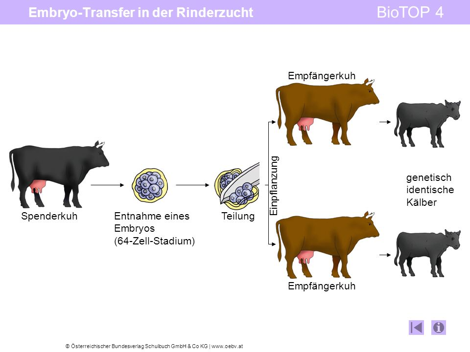 Embryo-Transfer in der Rinderzucht