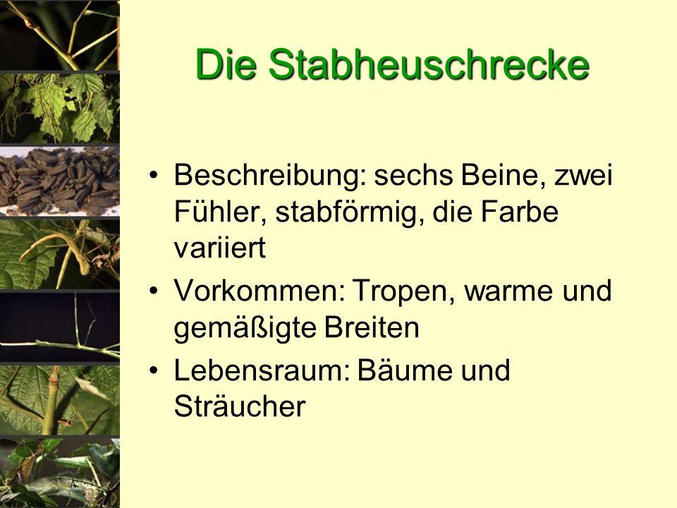 Die Stabheuschrecke Beschreibung: sechs Beine, zwei Fühler, stabförmig, die Farbe variiert. Vorkommen: Tropen, warme und gemäßigte Breiten.