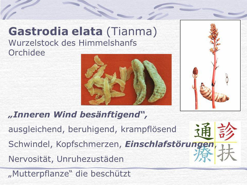 Gastrodia elata (Tianma) Wurzelstock des Himmelshanfs Orchidee