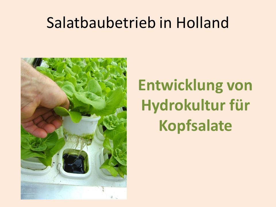 Salatbaubetrieb in Holland