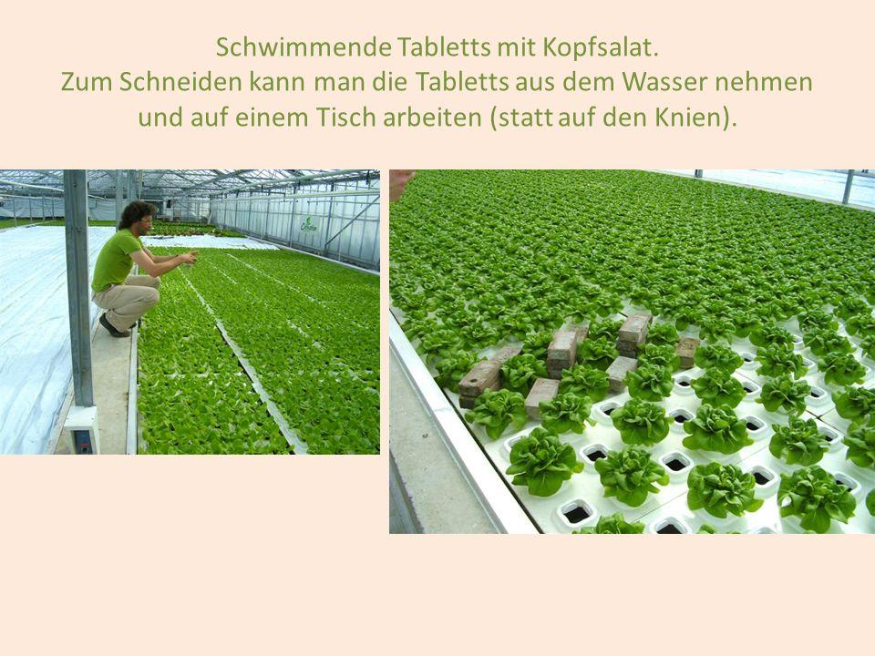 Schwimmende Tabletts mit Kopfsalat
