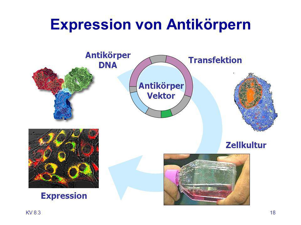 Expression von Antikörpern