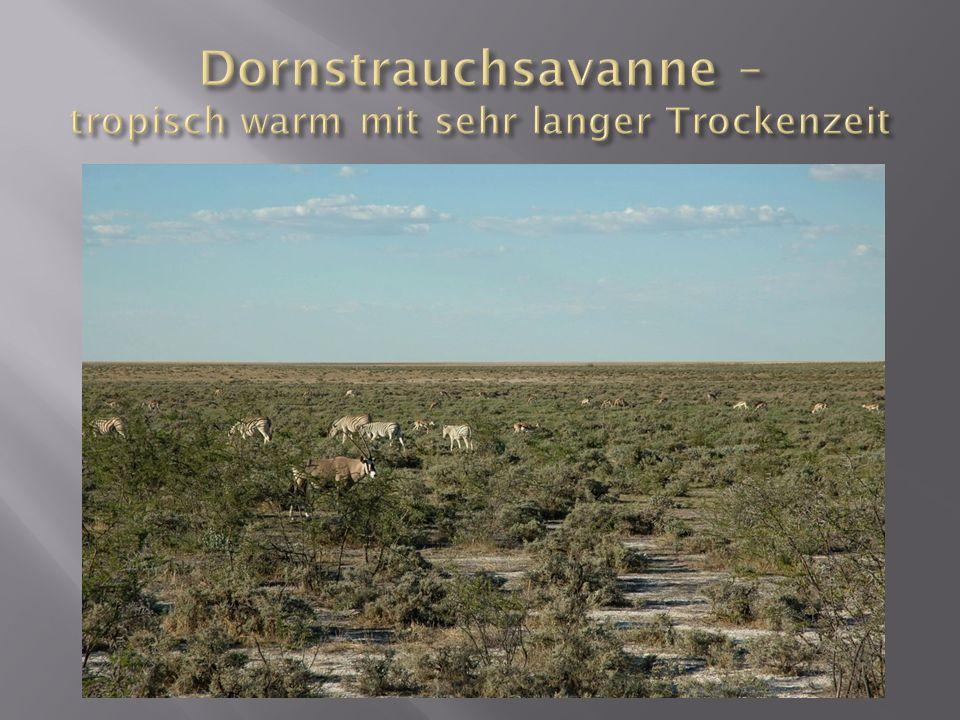 Dornstrauchsavanne – tropisch warm mit sehr langer Trockenzeit