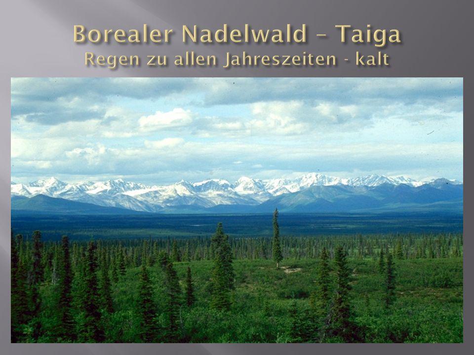 Borealer Nadelwald – Taiga Regen zu allen Jahreszeiten - kalt