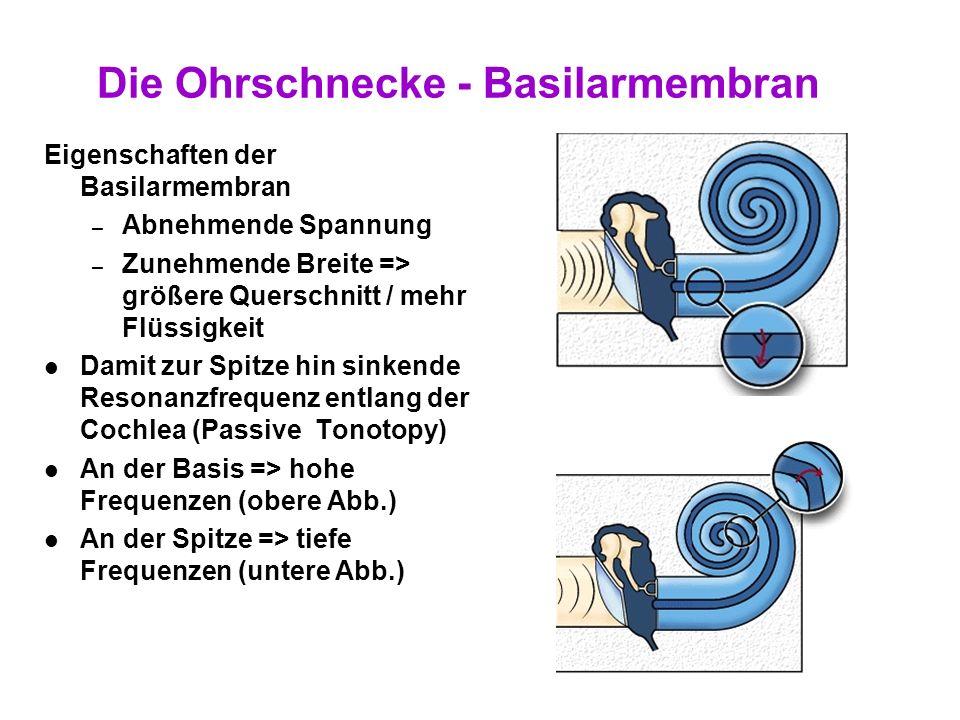 Die Ohrschnecke - Basilarmembran