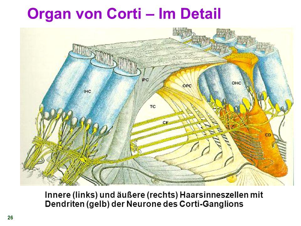 Organ von Corti – Im Detail