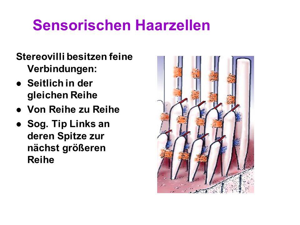Sensorischen Haarzellen