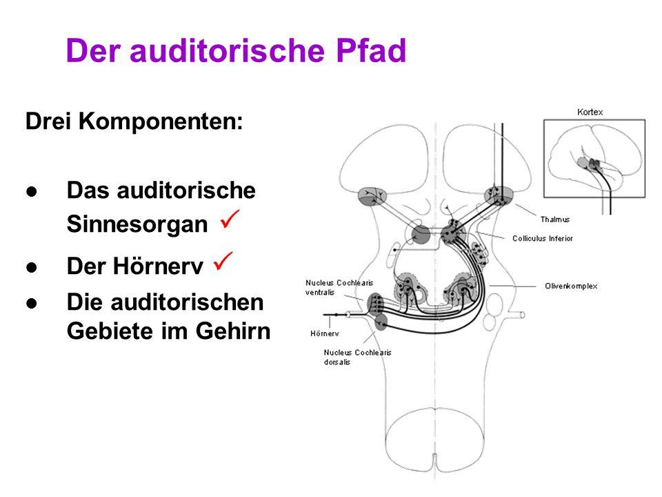 Der auditorische Pfad Drei Komponenten: Das auditorische Sinnesorgan 