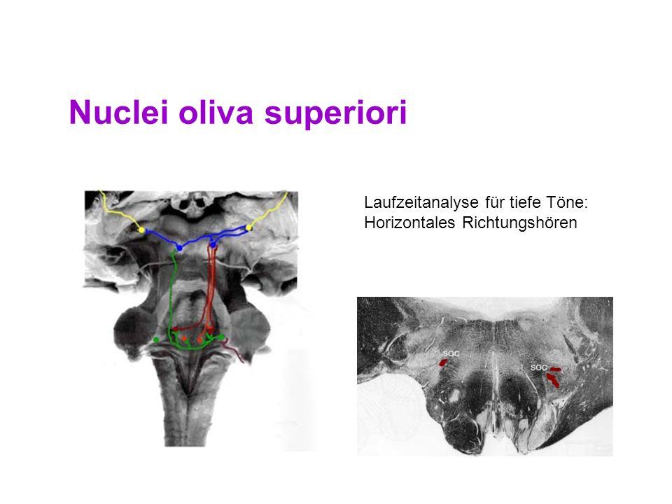 Nuclei oliva superiori