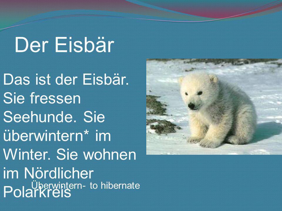 Der Eisbär Das ist der Eisbär. Sie fressen Seehunde. Sie überwintern* im Winter. Sie wohnen im Nördlicher Polarkreis.