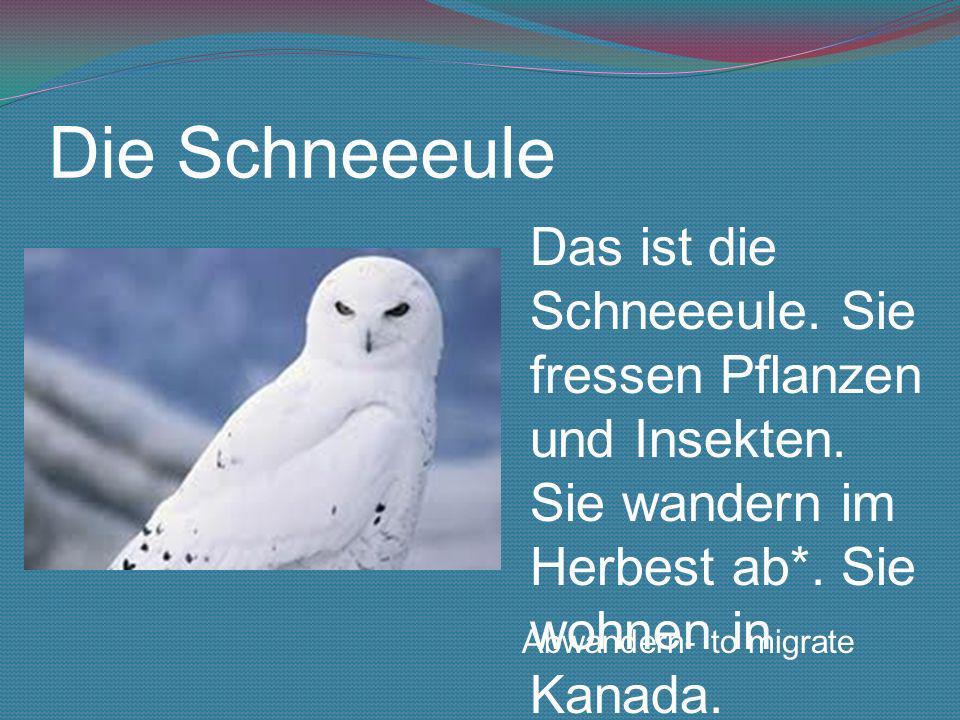 Die SchneeeuleDas ist die Schneeeule. Sie fressen Pflanzen und Insekten. Sie wandern im Herbest ab*. Sie wohnen in Kanada.