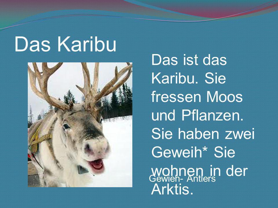 Das KaribuDas ist das Karibu. Sie fressen Moos und Pflanzen. Sie haben zwei Geweih* Sie wohnen in der Arktis.