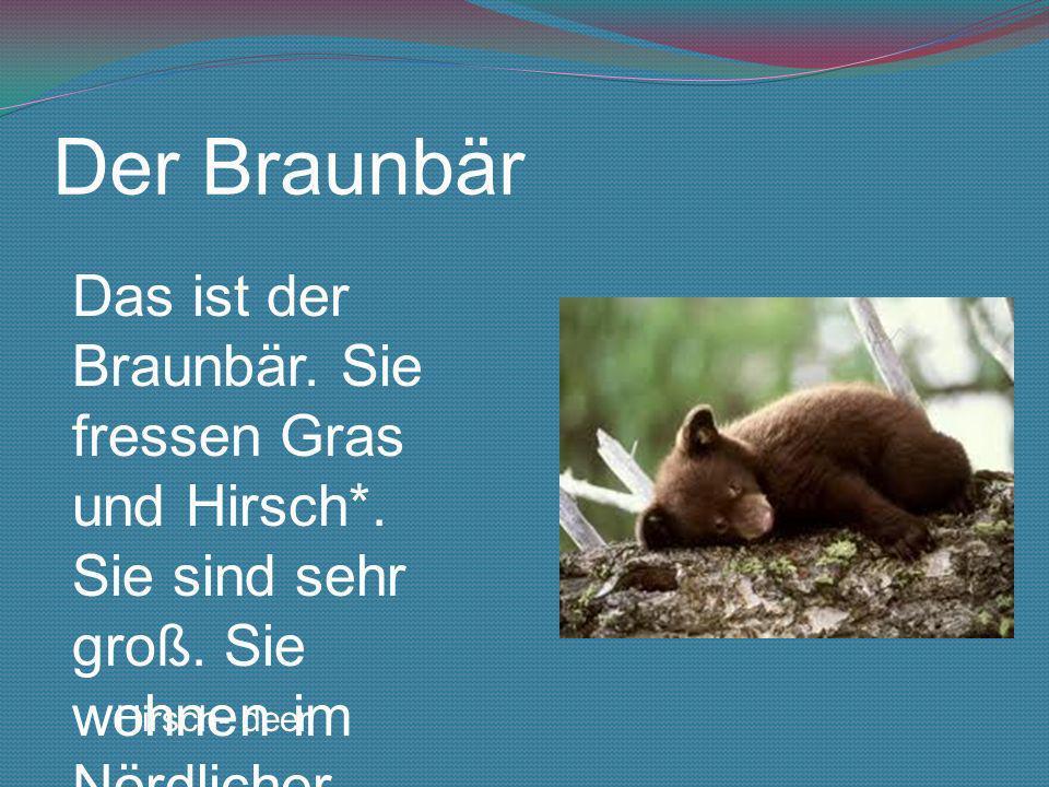 Der Braunbär Das ist der Braunbär. Sie fressen Gras und Hirsch*. Sie sind sehr groß. Sie wohnen im Nördlicher Polarkreis.