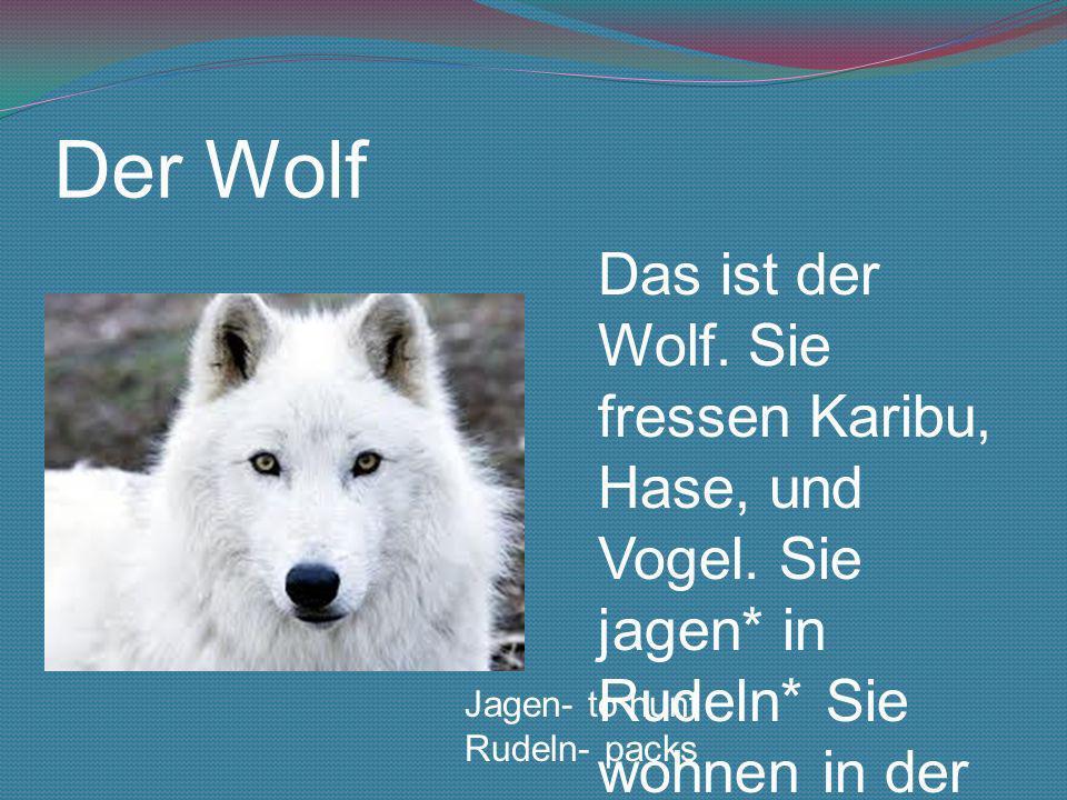 Der WolfDas ist der Wolf. Sie fressen Karibu, Hase, und Vogel. Sie jagen* in Rudeln* Sie wohnen in der kanadische Arktis.
