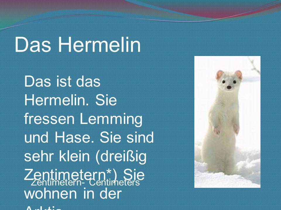 Das Hermelin Das ist das Hermelin. Sie fressen Lemming und Hase. Sie sind sehr klein (dreißig Zentimetern*) Sie wohnen in der Arktis.