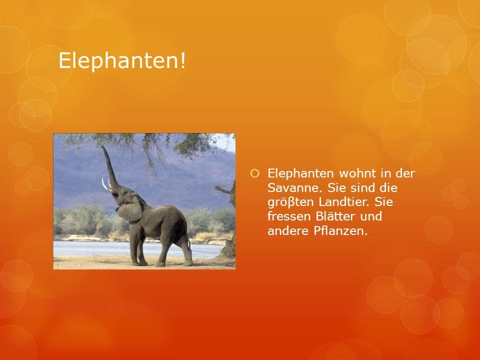 Elephanten. Elephanten wohnt in der Savanne. Sie sind die gröβten Landtier.
