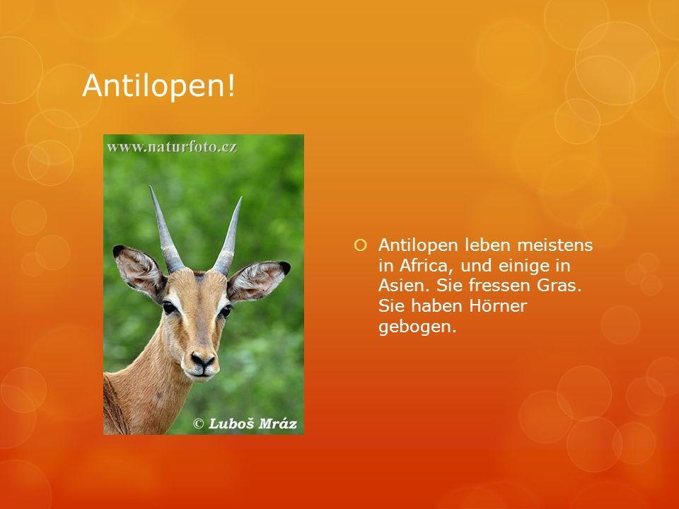 Antilopen!Antilopen leben meistens in Africa, und einige in Asien.