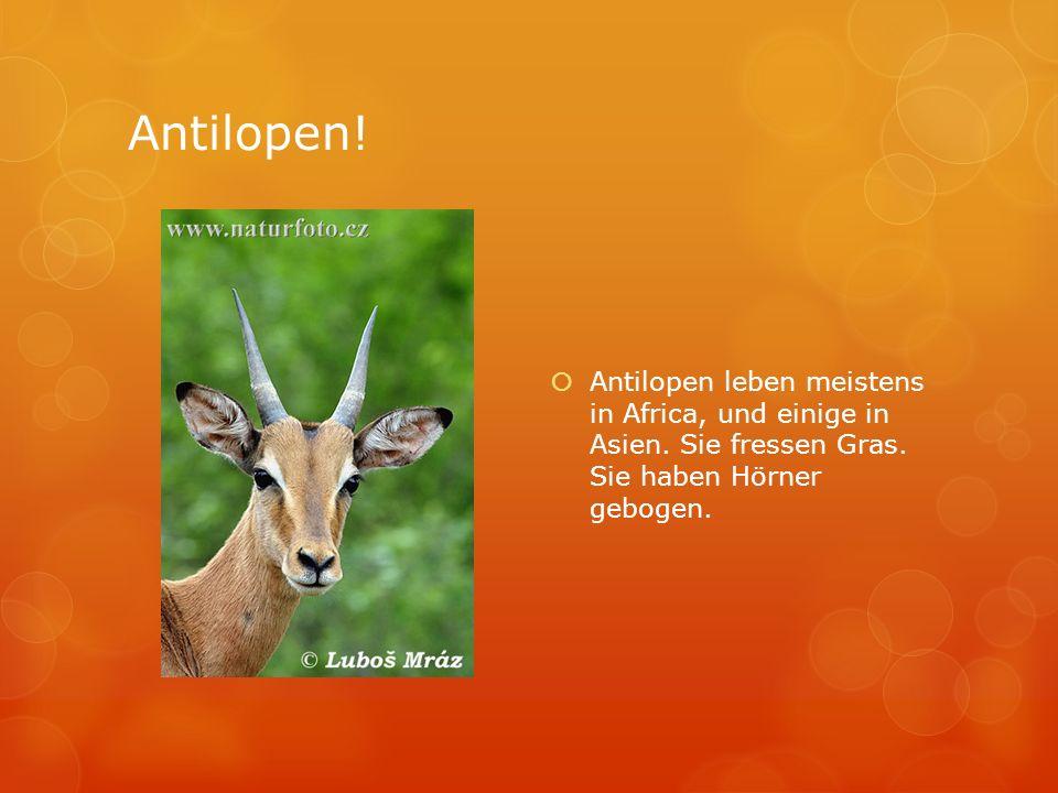 Antilopen. Antilopen leben meistens in Africa, und einige in Asien.