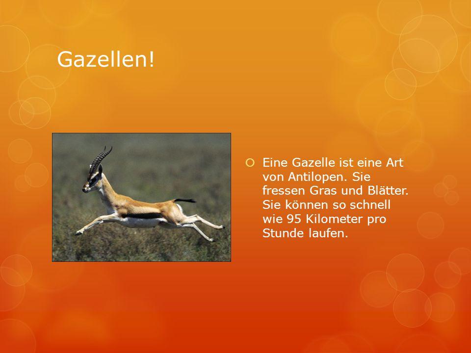 Gazellen!Eine Gazelle ist eine Art von Antilopen.