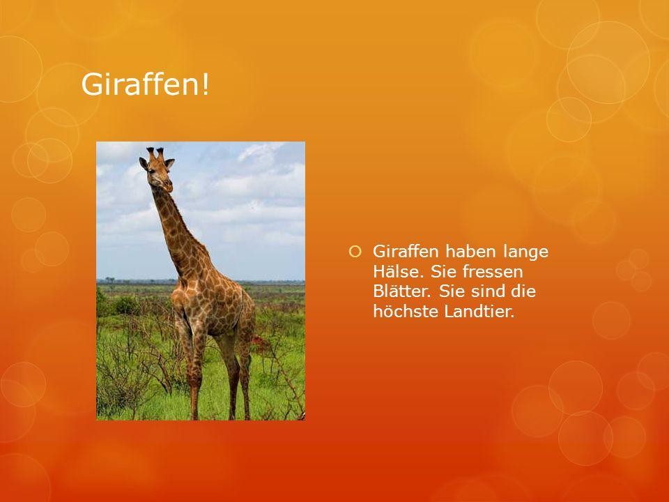 Giraffen! Giraffen haben lange Hälse. Sie fressen Blätter. Sie sind die höchste Landtier.