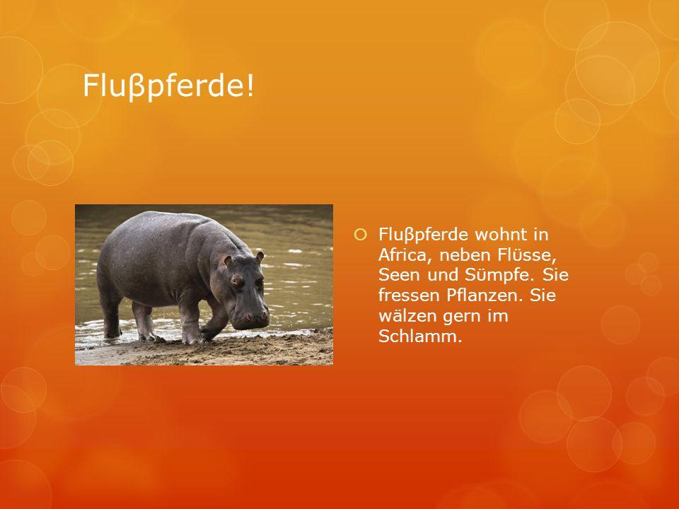 Fluβpferde. Fluβpferde wohnt in Africa, neben Flϋsse, Seen und Sϋmpfe.