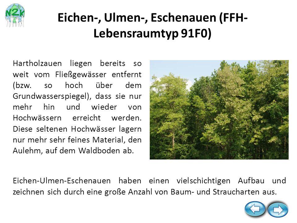 Eichen-, Ulmen-, Eschenauen (FFH-Lebensraumtyp 91F0)