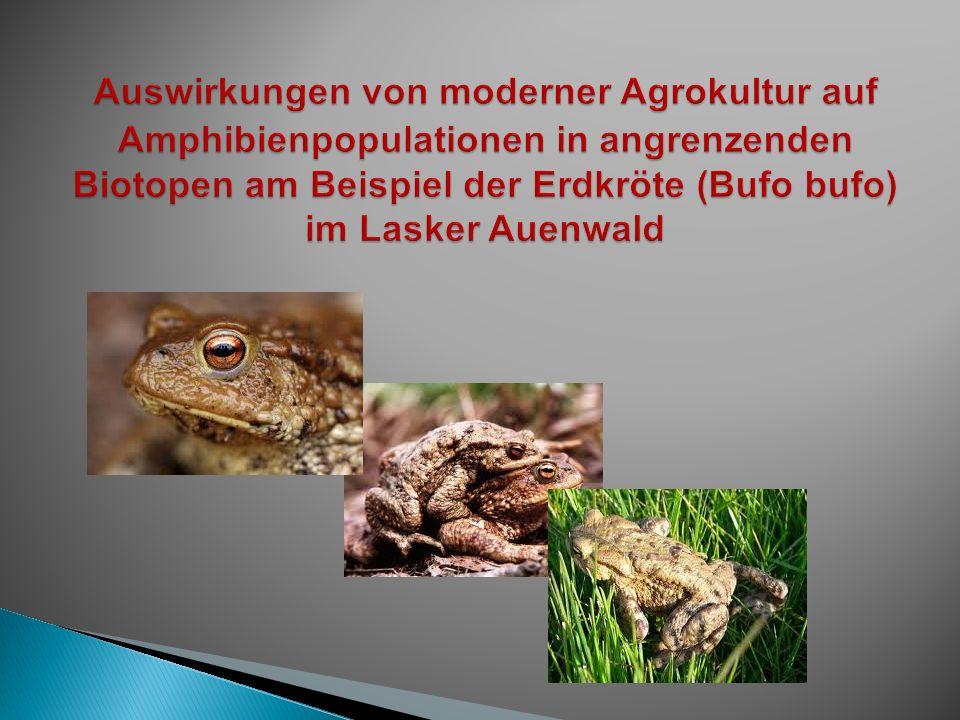 Auswirkungen von moderner Agrokultur auf Amphibienpopulationen in angrenzenden Biotopen am Beispiel der Erdkröte (Bufo bufo) im Lasker Auenwald