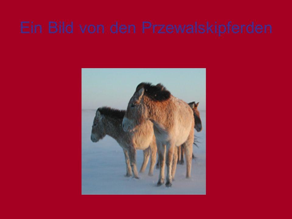 Ein Bild von den Przewalskipferden