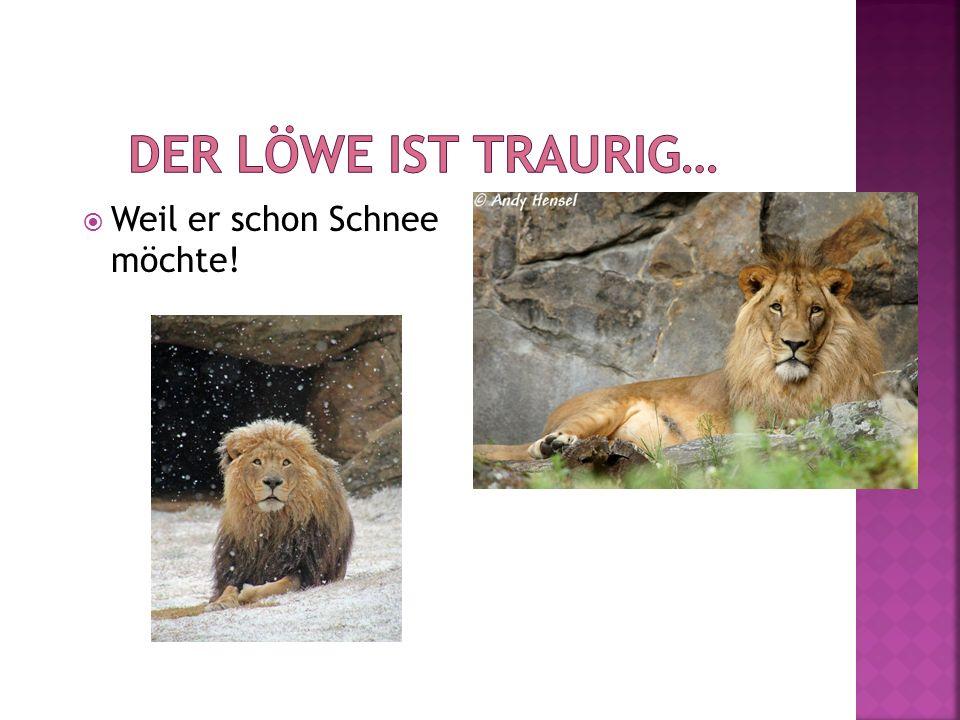 Der Löwe ist traurig… Weil er schon Schnee möchte!