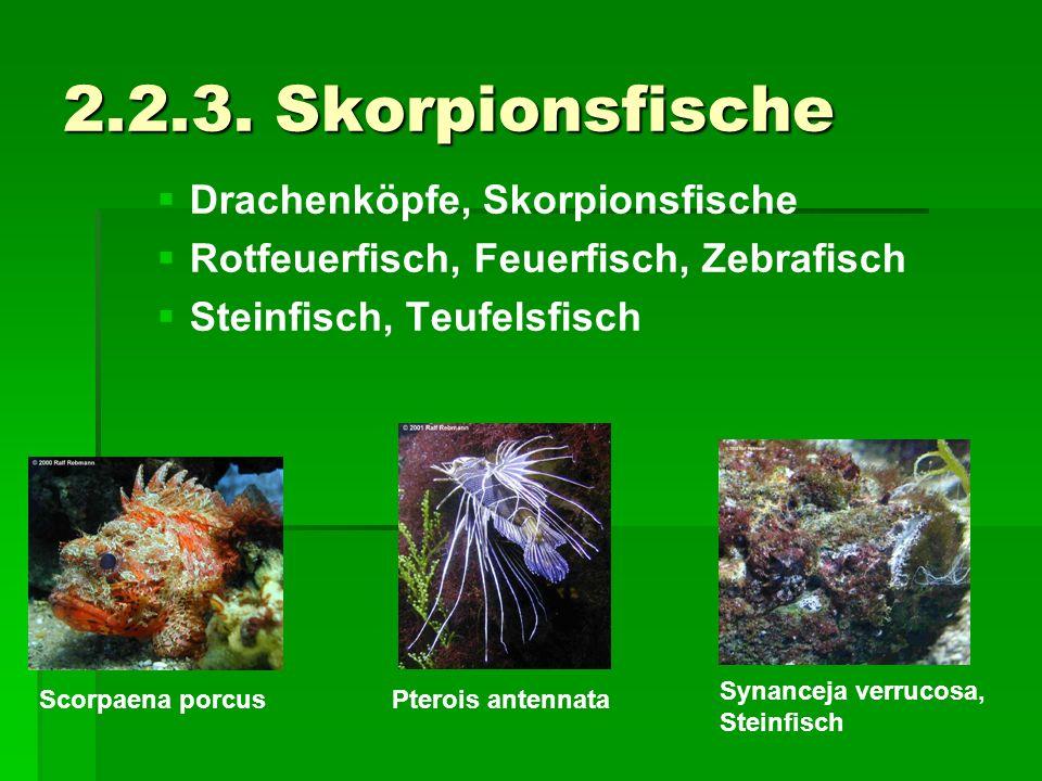2.2.3. Skorpionsfische Drachenköpfe, Skorpionsfische