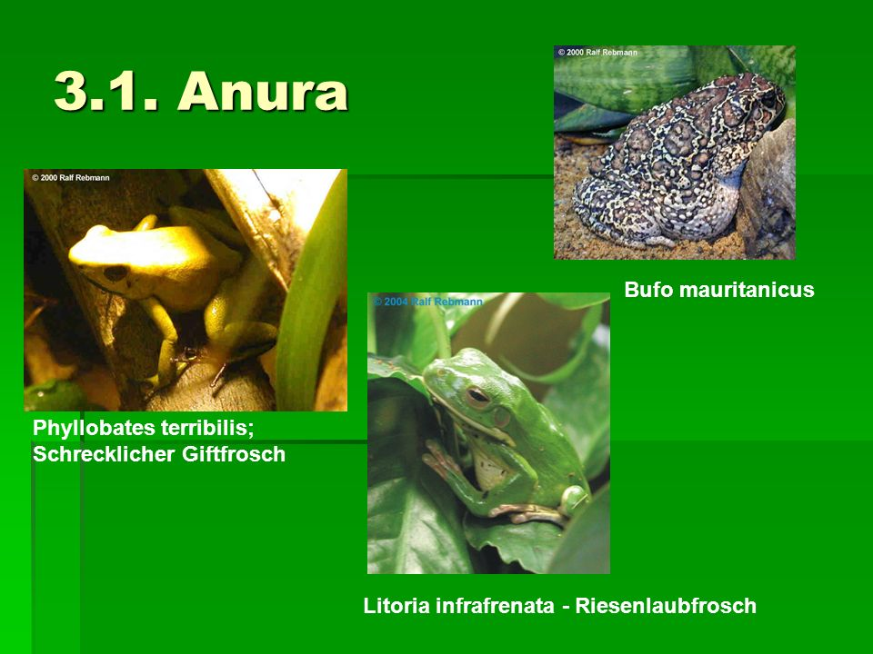 3.1. Anura Bufo mauritanicus Phyllobates terribilis;