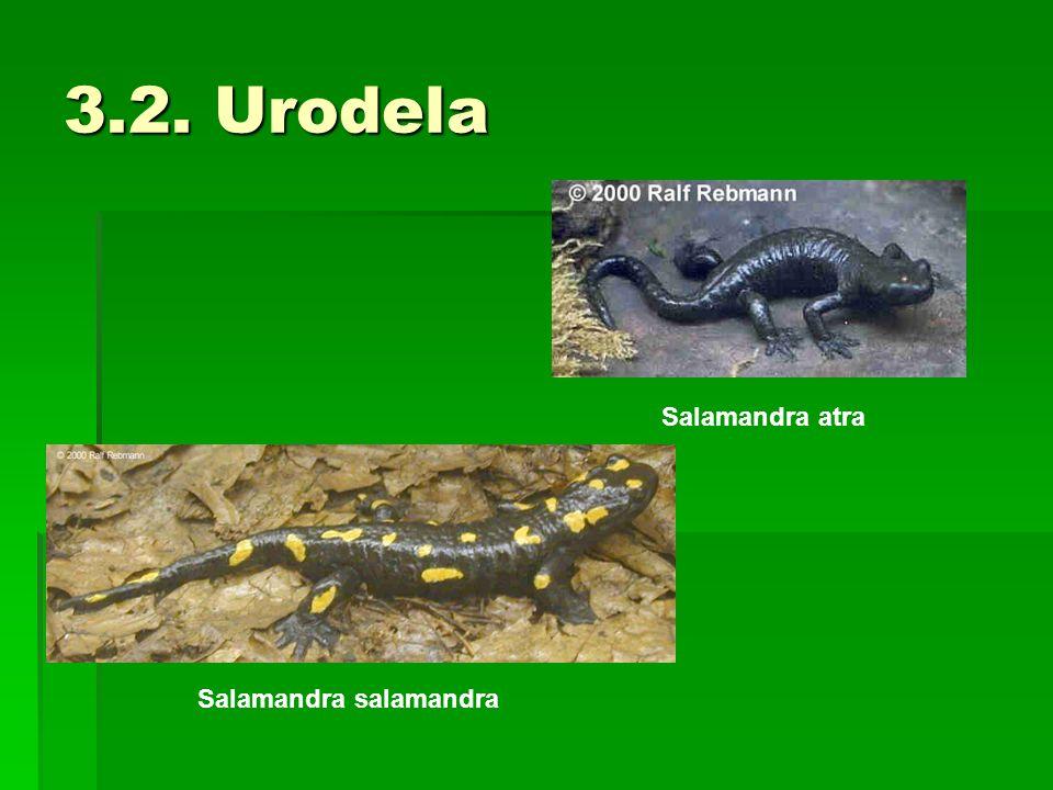 3.2. Urodela Salamandra atra Salamandra salamandra