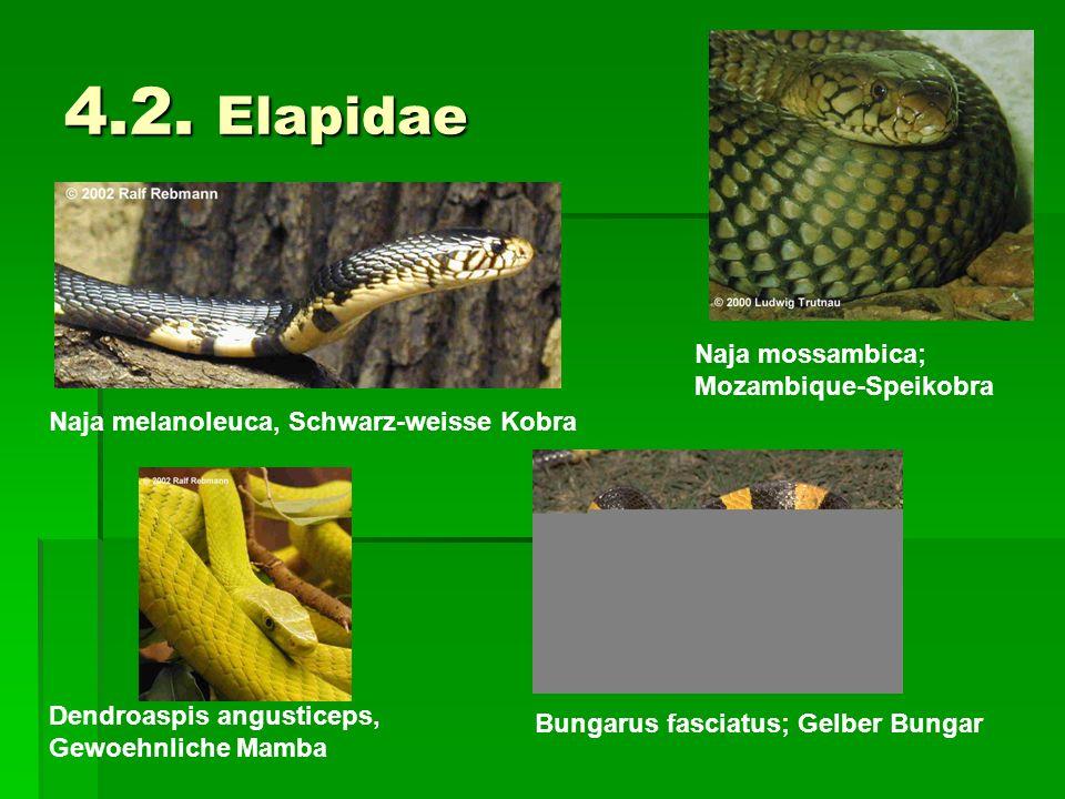 4.2. Elapidae Naja mossambica; Mozambique-Speikobra