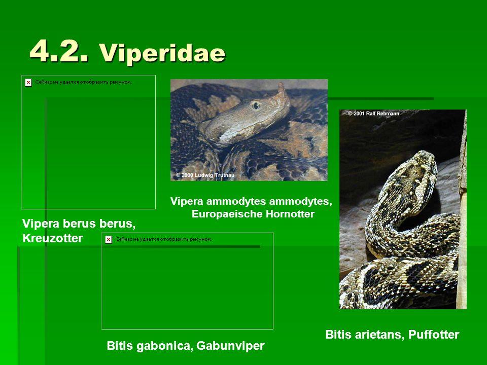 Vipera ammodytes ammodytes, Europaeische Hornotter